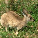 A young kangaroo
